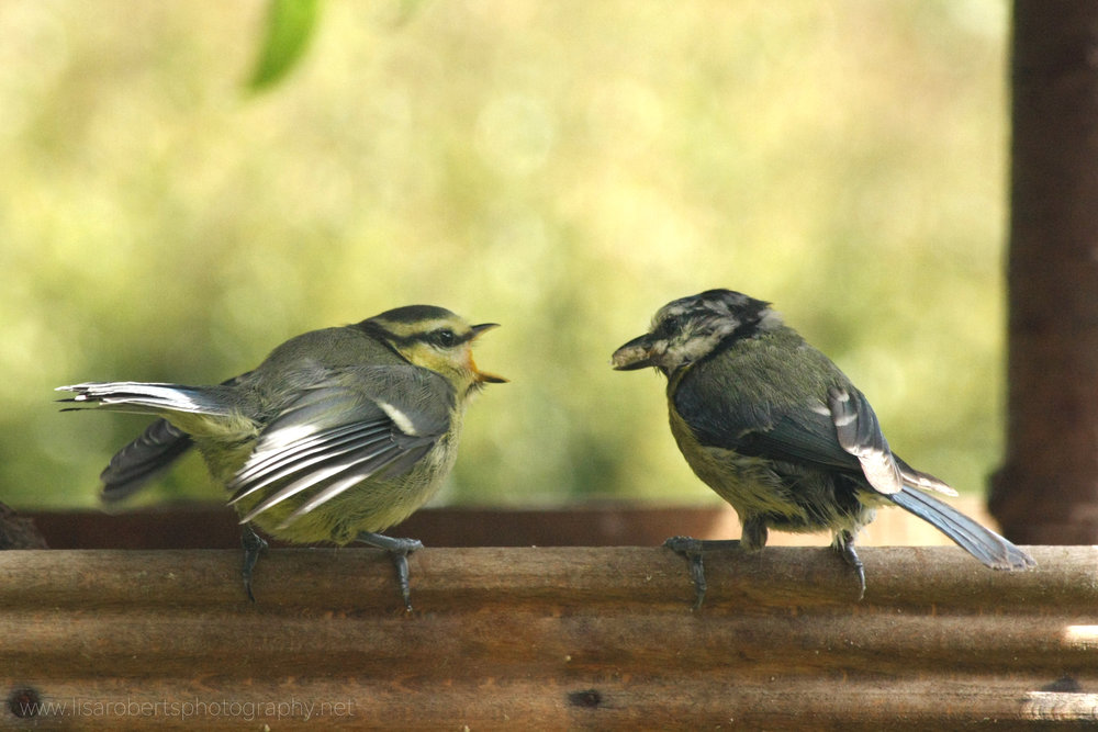 Blue Tit feeding young feeding young