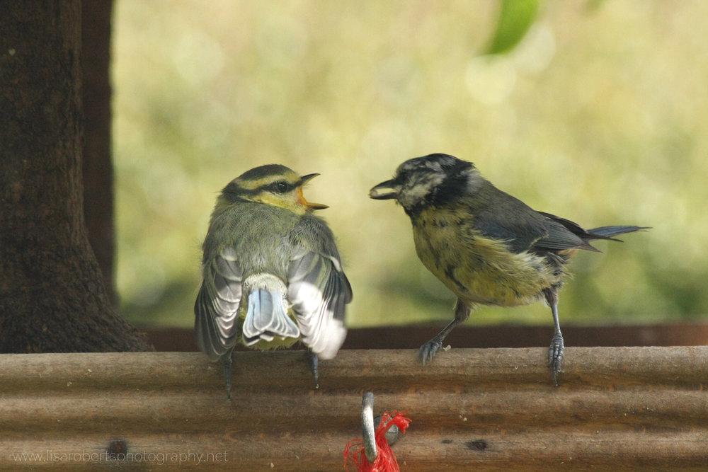 Blue Tit feeding young 2