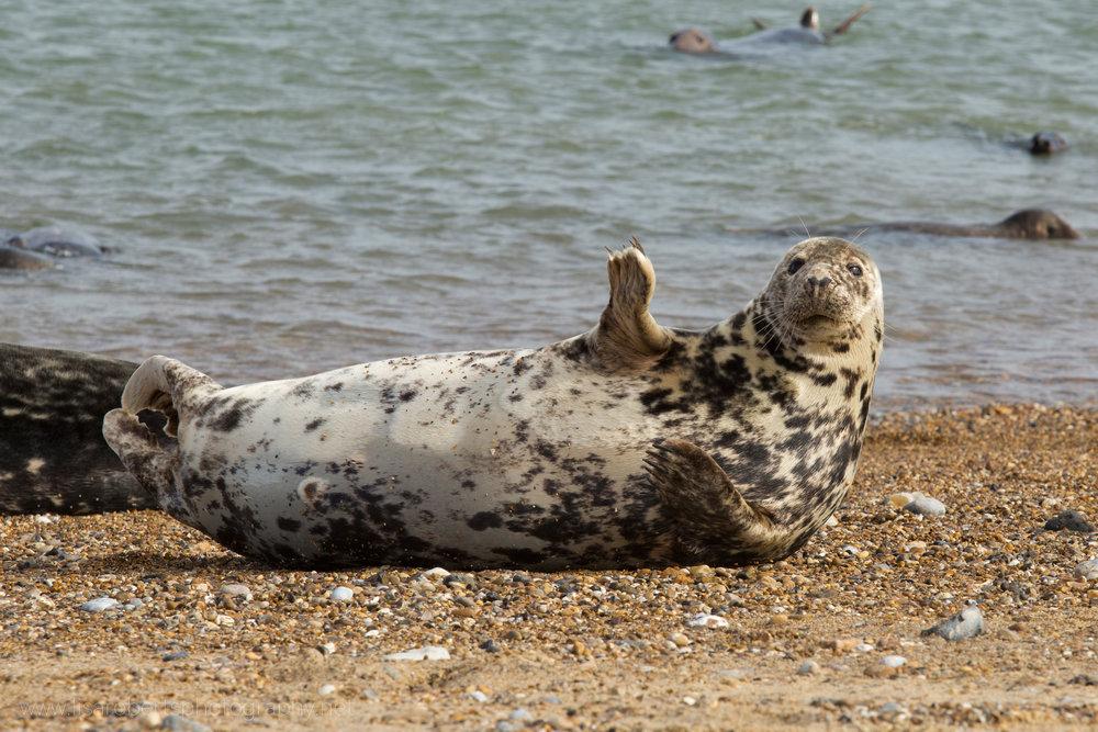 Grey Seal waving!