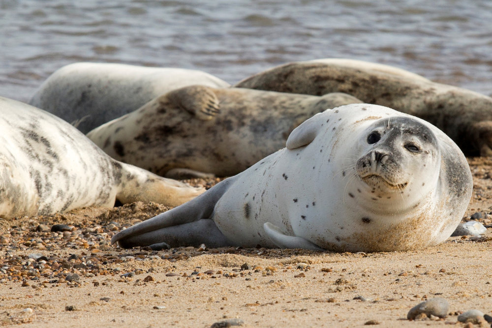Grey Seal winking