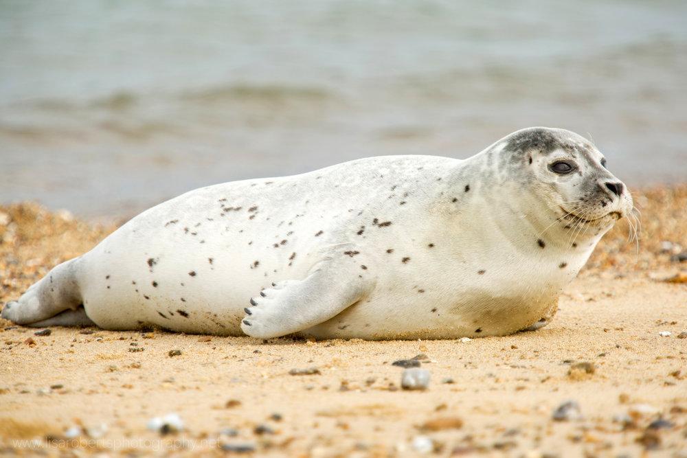 Grey Seal full profile