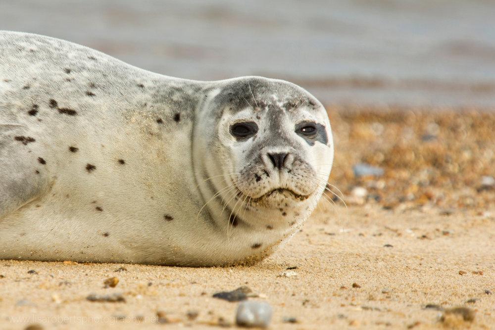 Grey Seal looking