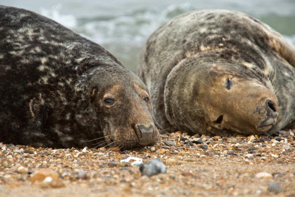 2 Grey Seals resting