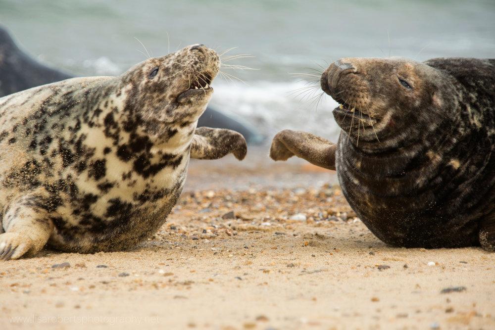 2 Grey Seals fighting