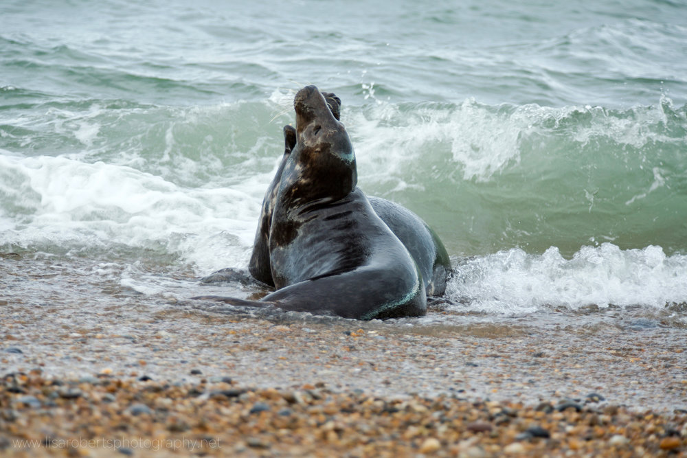 Grey Seal barking in the water