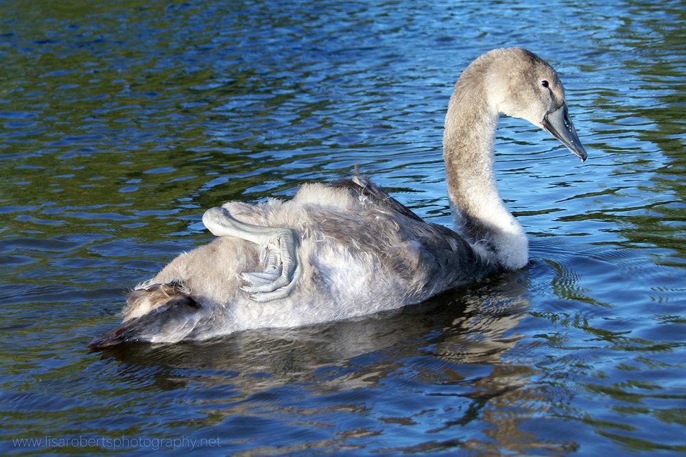 Adolescent Swan