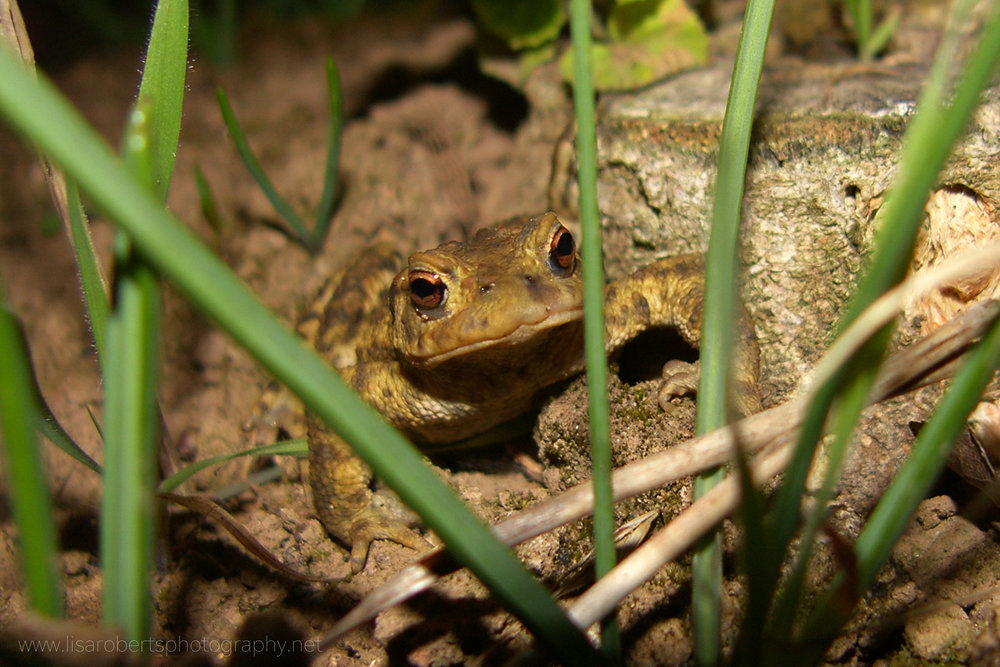 Common Toad face on
