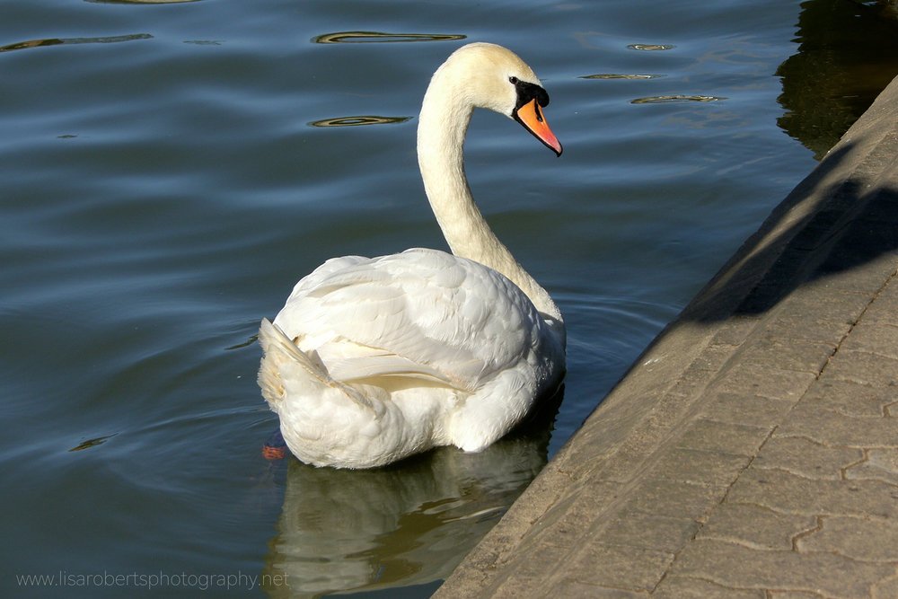 Swan on canal