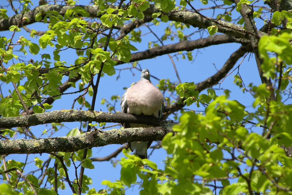 Wood Pigeon in tree