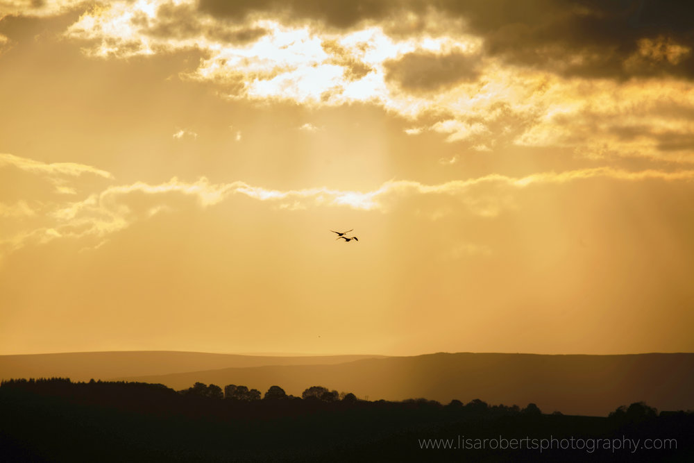Swans in flight, Herefordshire