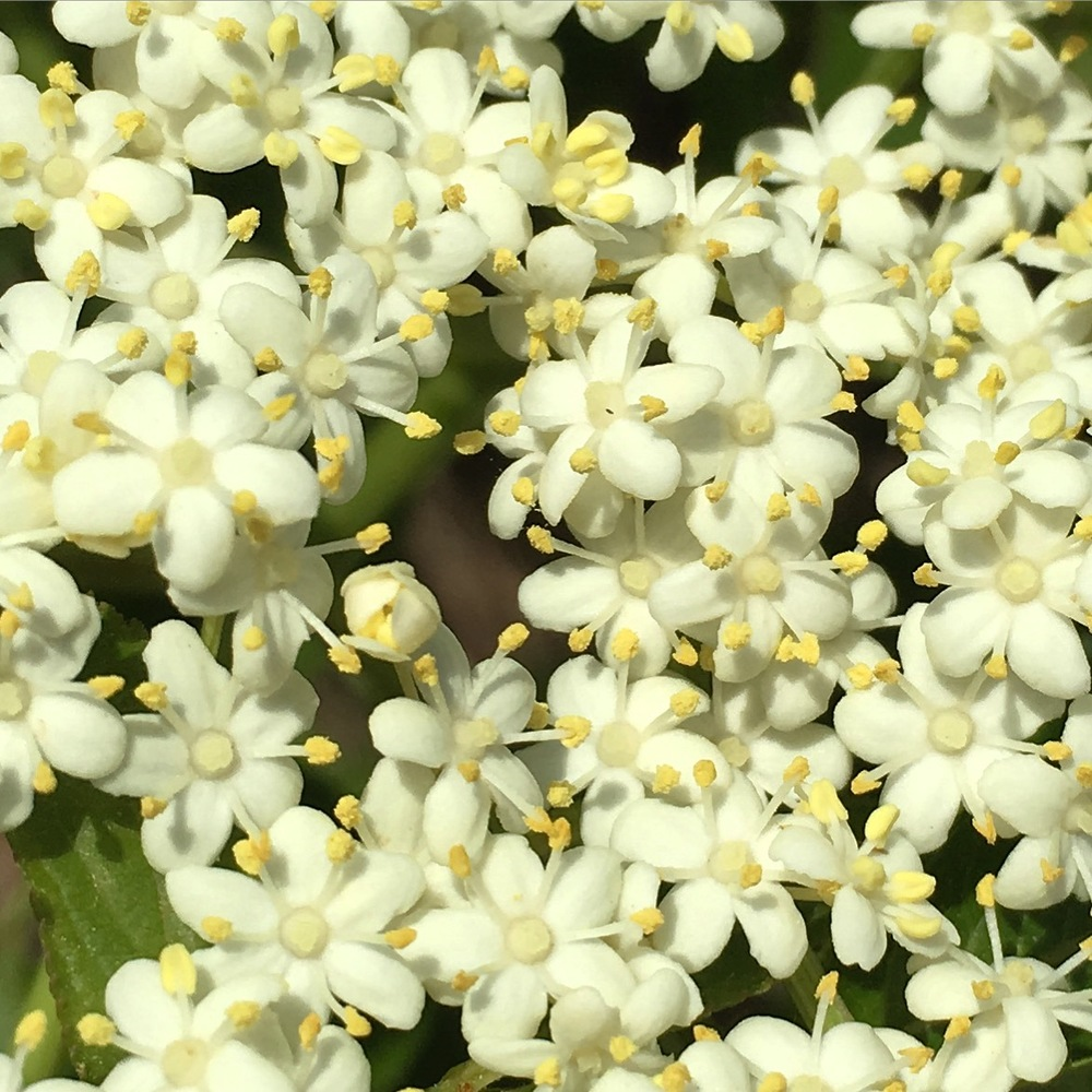 I couldn't resist publishing this close up of the elderflower umbel.  Each tiny flower has 5 tiny magic wands!