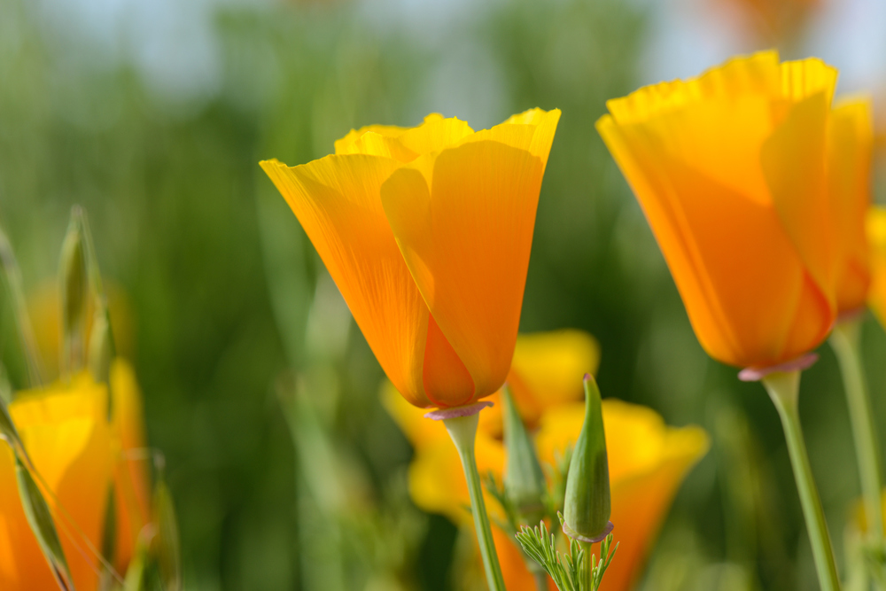 California Poppy blossom with distinctive seed pods.