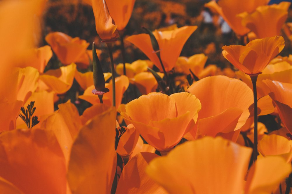 California poppy blossoms. Photo courtesy of Unsplash.