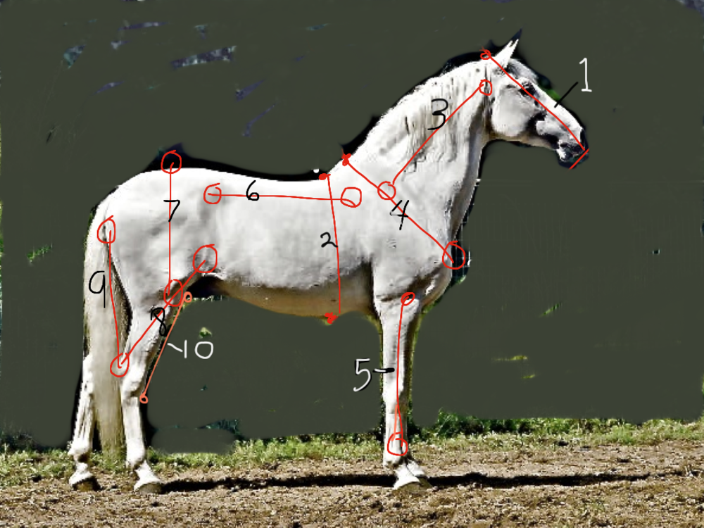 10 HORSE HEAD LENGTHS (modified using Brushes App., and my iPad.) By the way, if you learn these points and measurements, you can learn to find and modify them for any animal.