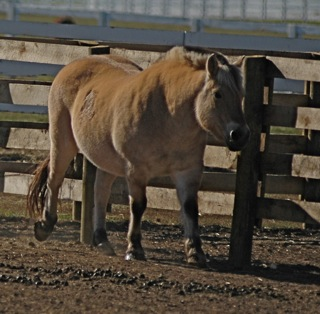 Wild pony : Kentucky Horse Park