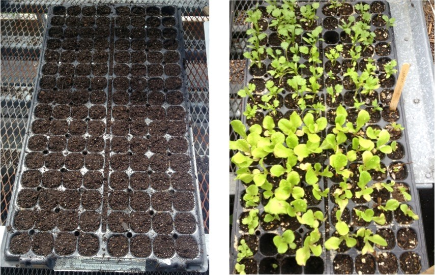 Tray when first seeded; tray after about a week and a half