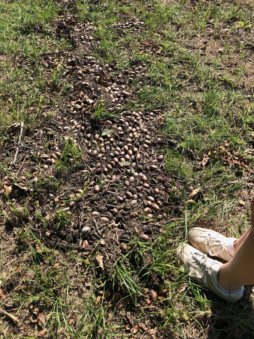 Floods of water carried nuts into neat rows, almost like they'd been blown that way