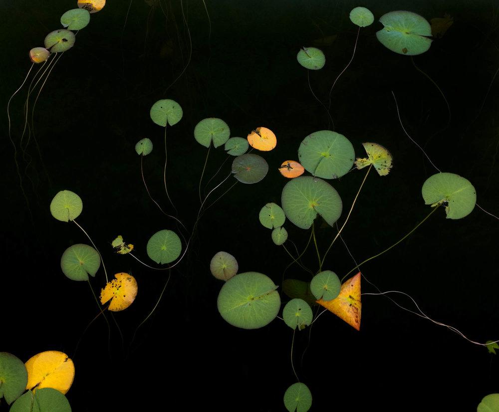 No 2-8260Jane Fulton Alt_ Water Lilies.jpg