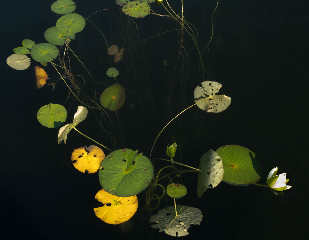 untitled shoot-9031-Edit copyJane Fulton Alt_ Water Lilies.jpg