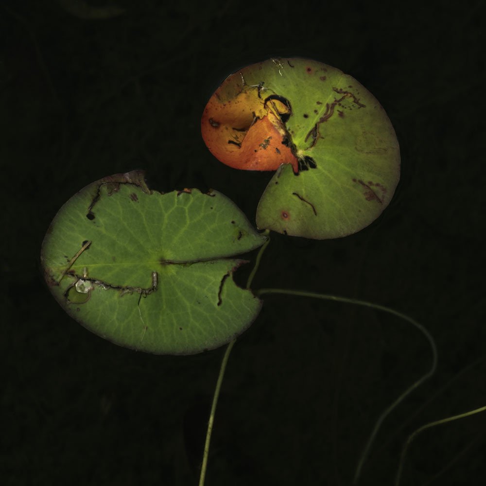 Two Heads_ Water Lilies 7312 copy.jpg