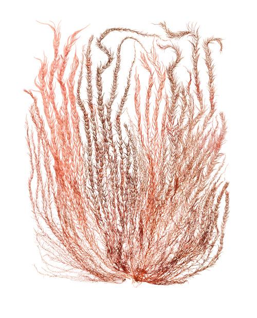 "Copy of <a href=""/prints/gloiosiphonia-verticillaris"">6, Print Info</a>"