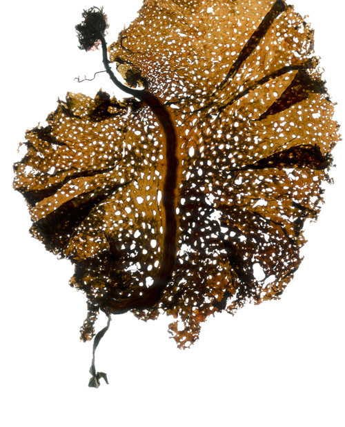 "<a href=""/prints/agarum-holey-kelp-2"">36, Print Info</a>"