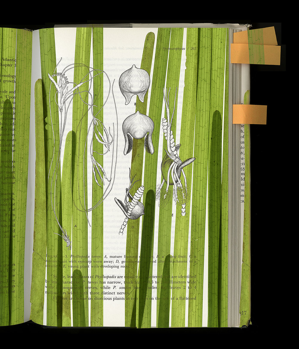 PhyllospadexPageEYD&Ruprecht&Zostera2.jpg