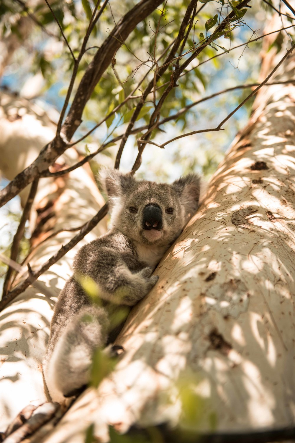 Wild koalas in the trees on Magnetic Island