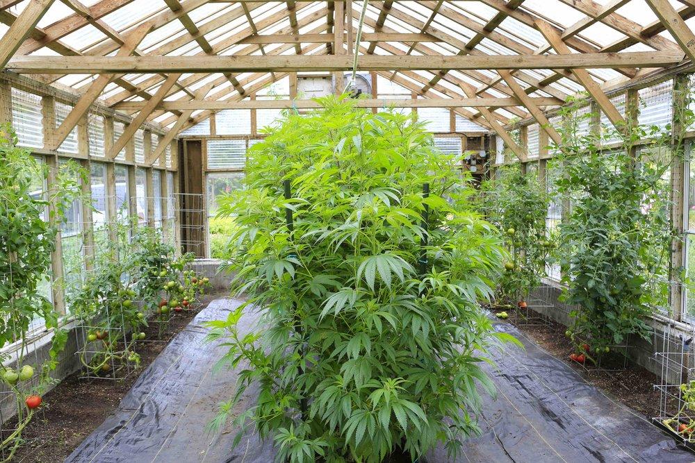 A Bushy Growth : Cannabis Indica