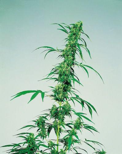 A Tall Lean Growth: Cannabis Sativa