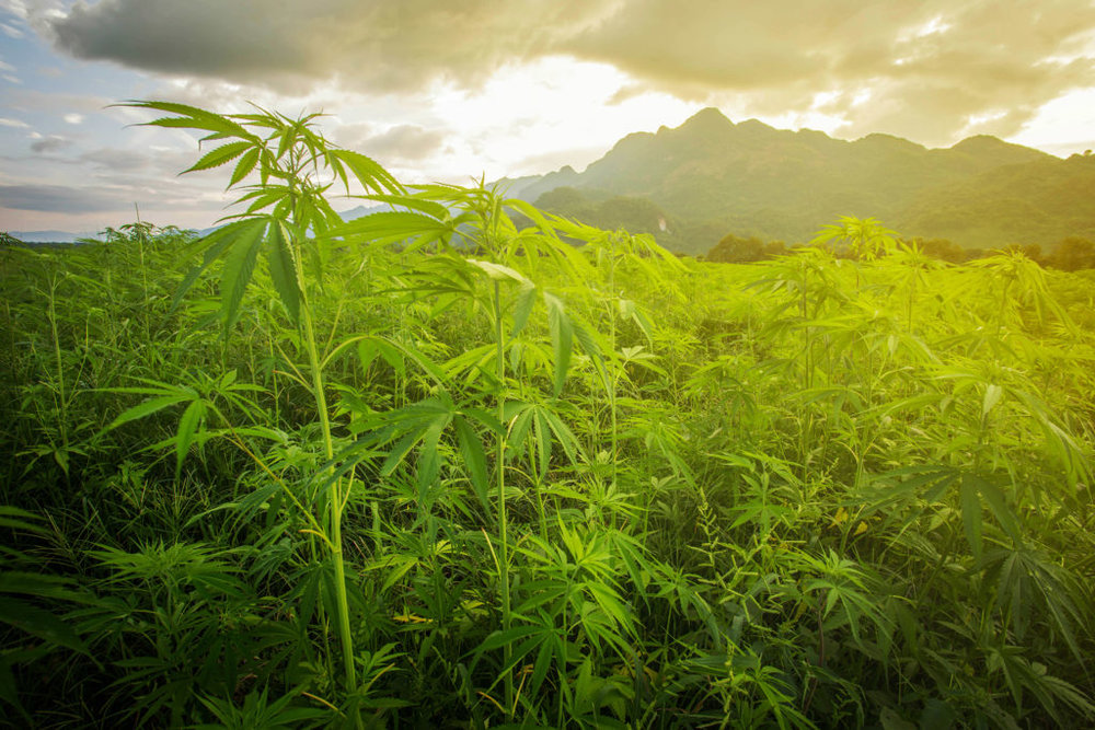 wild-cannabis-in-asia-1024x683.jpg