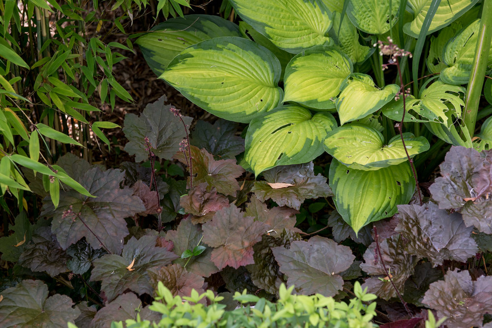 Alunrot 'Palace Purple' (Heuchera 'Palace Purple') i kombination med hosta 'Gold Standard'.