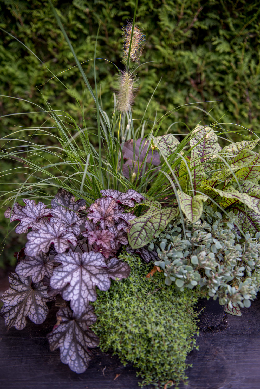 Alunrot, prydnadgräs 'Pennisetum', syra, liten kärleksört, timjan