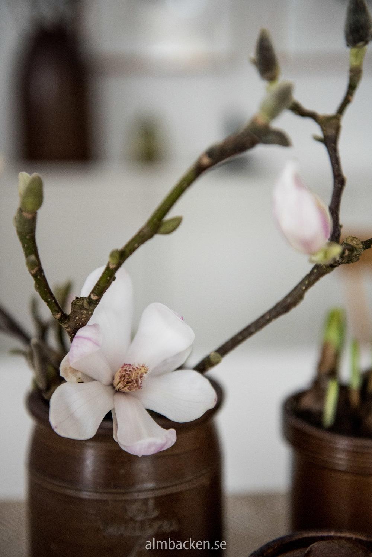 Magnolia-wallåkra-8.jpg