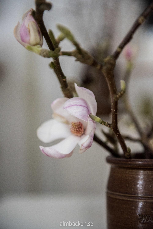 Magnolia-wallåkra-3.jpg