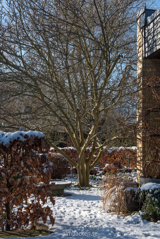 Almbacken-magnolia-bokhäck-5.jpg