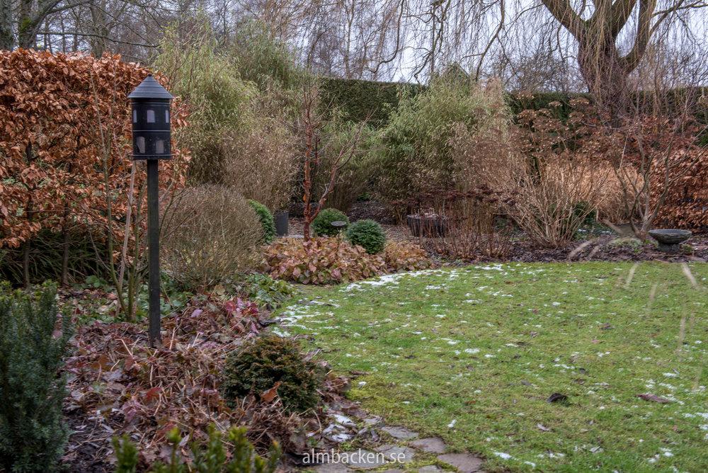 Kopparlönn-Acergriseum-bokhäck-Almbacken.jpg