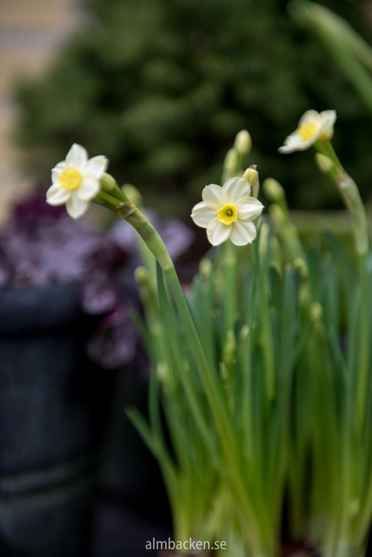 Narcissus-Minnow.jpg