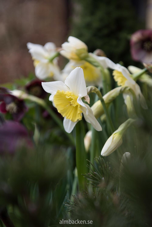 Narcissus-Ice-Follies-9.jpg