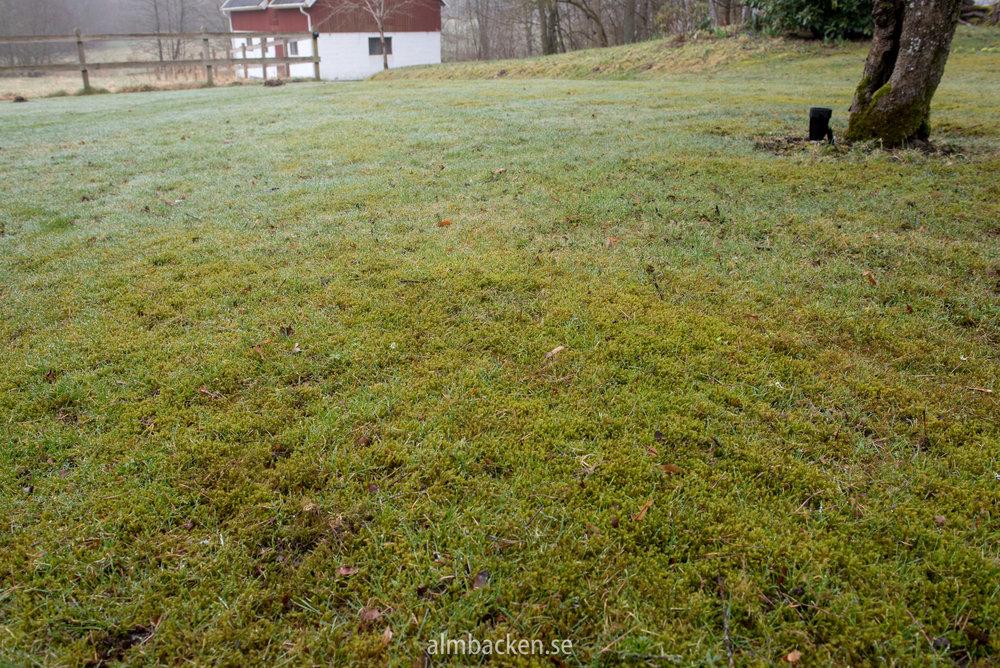 Mossa-problem-gräsmatta-algomin.jpg