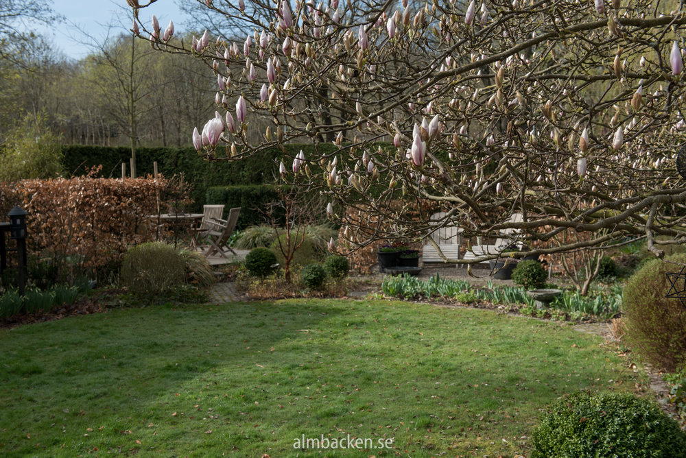 Magnolia x Soulangeana, praktmagnolia
