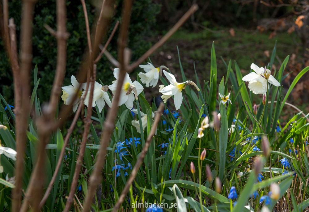 Narcissus 'Mount Hood' och scilla