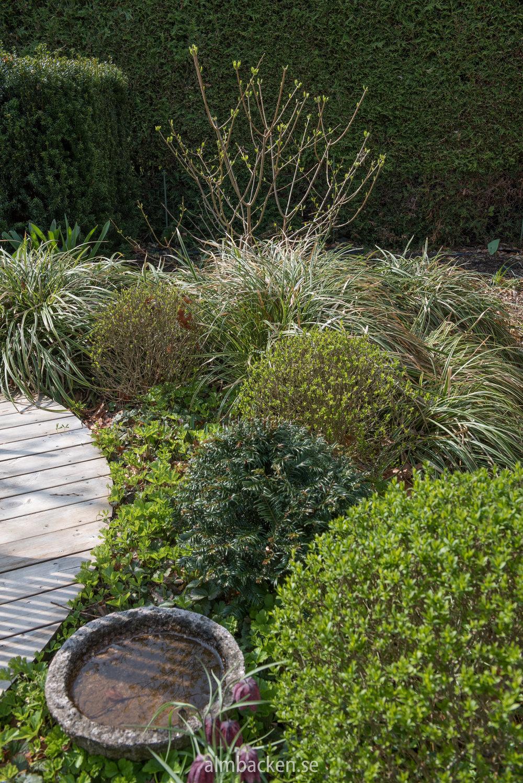 Carex-ice-dance-starr-hortensia-limelight-idegransklot-ligusterklot.jpg