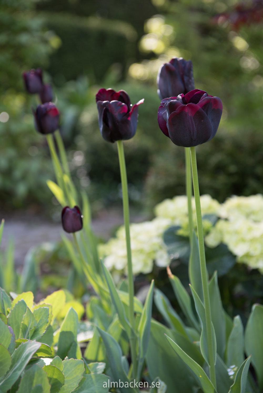 tulpaner-tulipa-paul-scherer.jpg