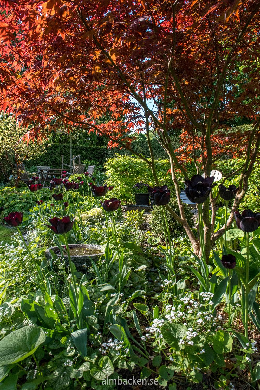 Tulpan-tulipa-paulscherer-japans-lönn-Margaret-bee.jpg