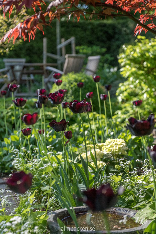 Tulipa-Paul-Scherer.jpg