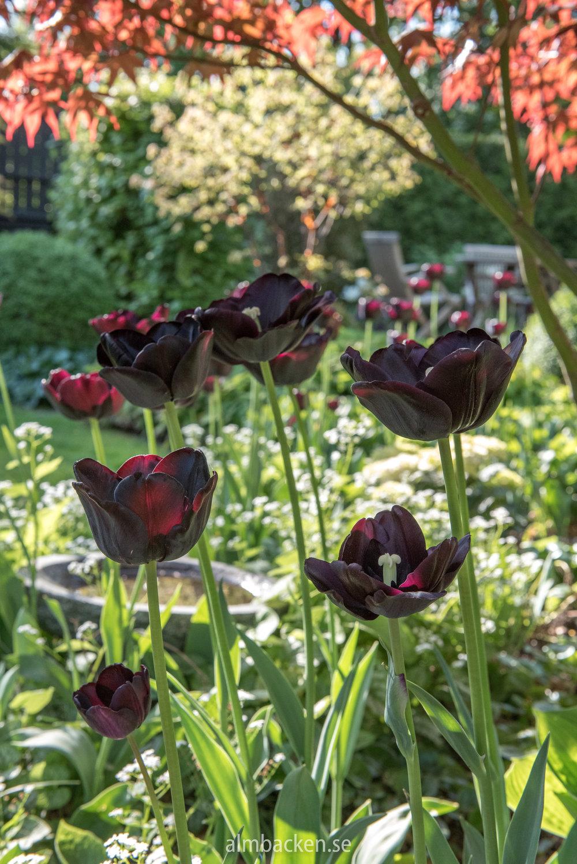 Tulipa-paulscherer.jpg