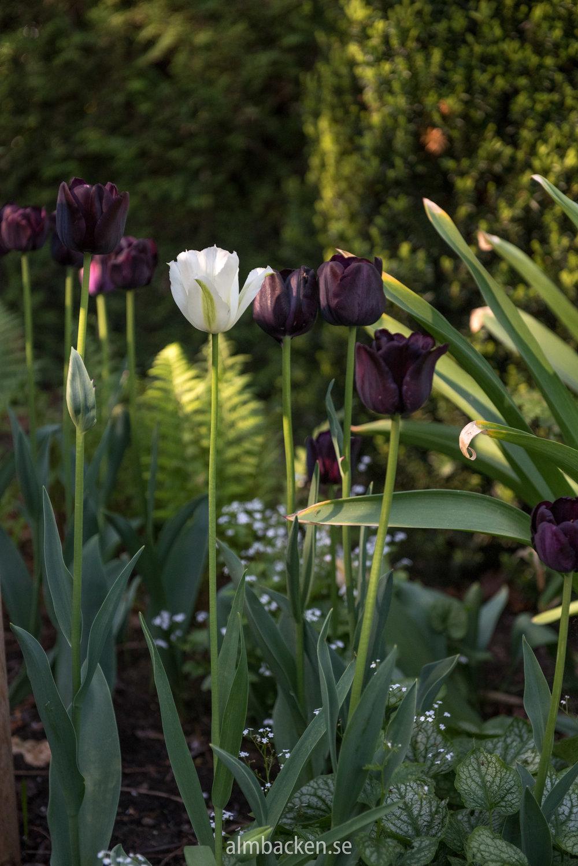Tulipa-Paul-Scherer-Spring-Green.jpg