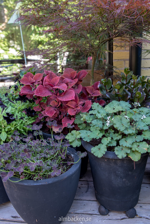 krukor-palettblad-klöver-vildperlargon-austral.jpg