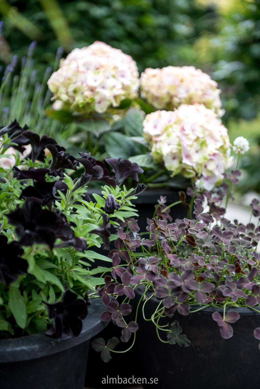 """Svart petunia, 'Magical' hortensia och """"svart"""" klöver."""